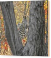 Zebra In Mopane Textures Wood Print