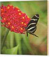 Zebra Long Wing Butterfly Wood Print