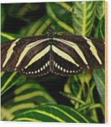 Zebra Longwing Butterfly On A Sanchezia Nobilis Tropical Plant Wood Print