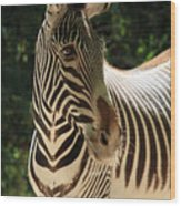 Zebra Portrait Wood Print