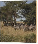 Zebra Seeking Shade Wood Print