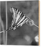 Zebra Swallowtail Butterfly Black And White Wood Print