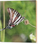 Zebra Swallowtail Butterfly In Garden 2016 Wood Print
