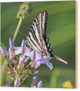 Zebra Swallowtail Butterfly On Phlox Wood Print
