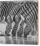 Zebras Drinking Wood Print