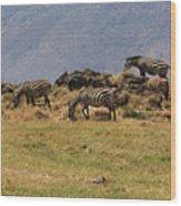 Zebras In The Ngorongoro Crater, Tanzania Wood Print