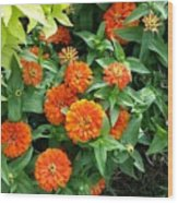 Zesty Zinnias Wood Print