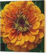 Zinnia At Frankenmuth Wood Print