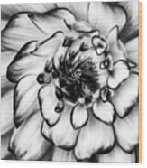 Zinnia Close Up In Black And White Wood Print