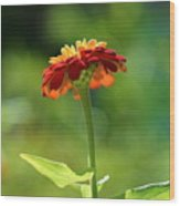 Zinnia Flower Wood Print