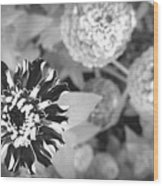 Zinnia In Black And White  Wood Print