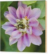 Zinnia In Pink Wood Print