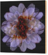 Zinnia On Black Wood Print