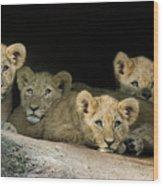 Four Cubs Wood Print