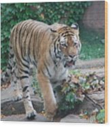 Chicago Zoo Tiger Wood Print