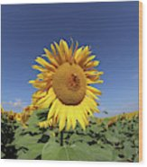 Bee On Blooming Sunflower Wood Print