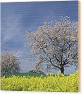 Cherry Tree In Blossom Wood Print