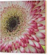 Gerbera Daisy Wood Print