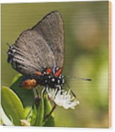 Great Purple Hairstreak Wood Print