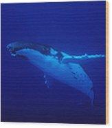 Humpback Whale, Megaptera Novaeangliae Wood Print