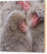 Japanese Macaques, Japanese Alps Wood Print
