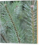 Moist Pine Tree Leaves With Water Droplets. Wood Print