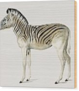 Mountain Zebra  Dauw  Illustrated By Charles Dessalines D' Orbigny  1806-1876  Wood Print