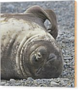 Southern Elephant Seal Weaner Pup Wood Print