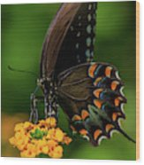 Spicebush Swallowtail On Lantana Blooms Wood Print