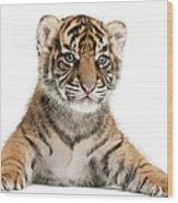 Sumatran Tiger Cub - Panthera Tigris Wood Print