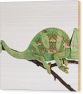 Yemen Chameleon Sitting On Branch Wood Print