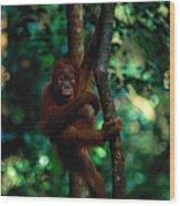 Young Sumatran Orangutan Pongo Pongo Wood Print