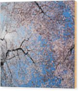 Low Angle View Of Cherry Blossom Trees Wood Print