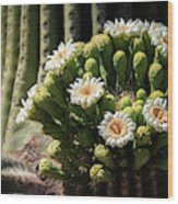 Saguaro Blossoms  Wood Print