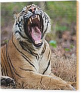 An Adult Tiger In Bandhavgarh National Wood Print