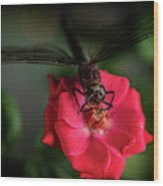 Dragonfly On A Flower Of A Red Rose. Macro Photo Wood Print
