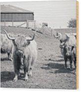 Highland Cattle  Wood Print