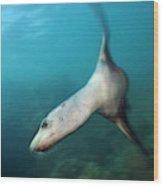 California Sea Lion Wood Print