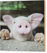 A Baby Pig In Its Pen Wood Print