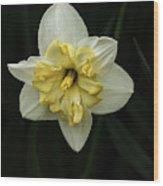 A Beautiful Narcissus Wood Print