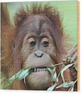A Close Portrait Of A Young Orangutan Eating Leaves Wood Print