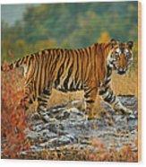 A Large Tiger In Bandhavgarh National Wood Print