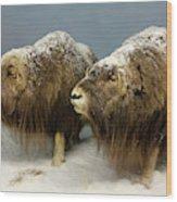 A Pair Of Musk Oxen, International Wildlife Museum, Tucson, Ariz Wood Print