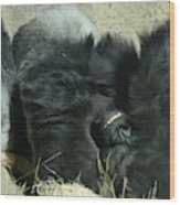 Adult Silverback Gorilla Laying Down With Anguished Expression Wood Print