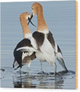 American Avocets, Courtship Dance Wood Print