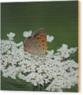 American Copper On Queen Anne's Lace Wood Print