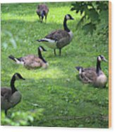 An Afternoon With Canada Geese Wood Print