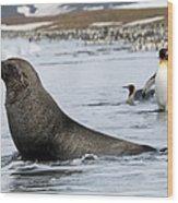 An Antarctic Fur Seal, Arctocephalus Wood Print