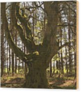 ancient tree in forest near Greenlawin Scottish Borders Wood Print