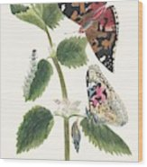 Antique Watercolor Illustration Of Nettle Butterfly In Various Life Stages Published In 1824 By M.p. Wood Print